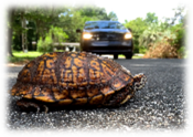 Box-Turtle-on-Rd175 edited.png
